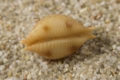 Cypraea-bistrinotata-02