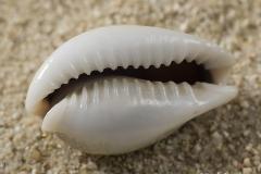 Cypraea-camelopardalis-02