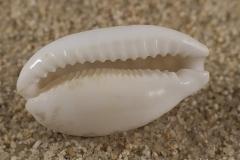 Cypraea-cribraria-02