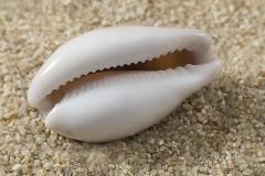 Cypraea-spadicea-02