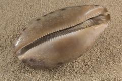 Cypraea-testudinosa-02