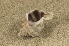 Hexaplex-trunculus-04