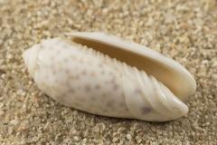 Oliva-annulata-amethystina-02