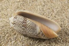 Oliva-reticulata-zebra-02