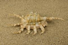 Pterocera-scorpio-01