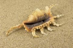 Pterocera-scorpio-02