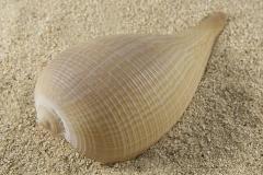 Pyrula-gracilis-01