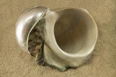 Turbo-marmoratus-03