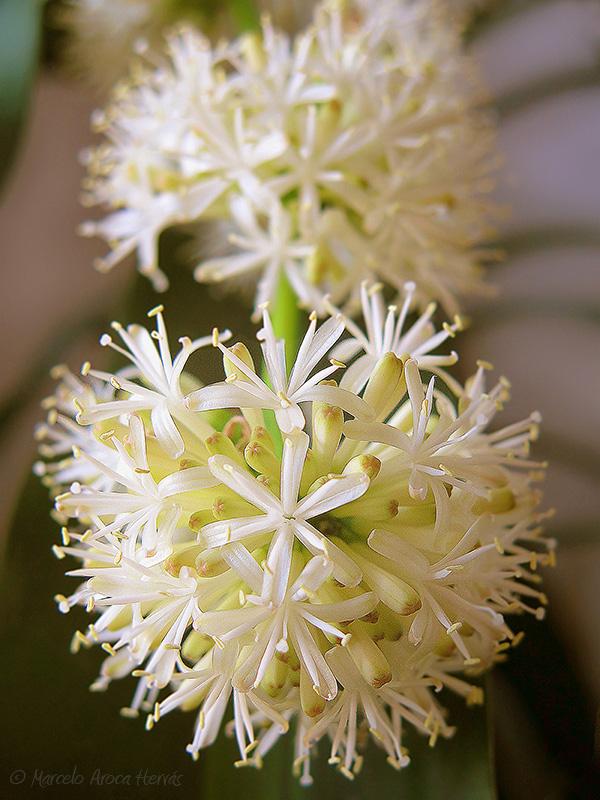 1_Dracaena fragrans (Palo de Agua)