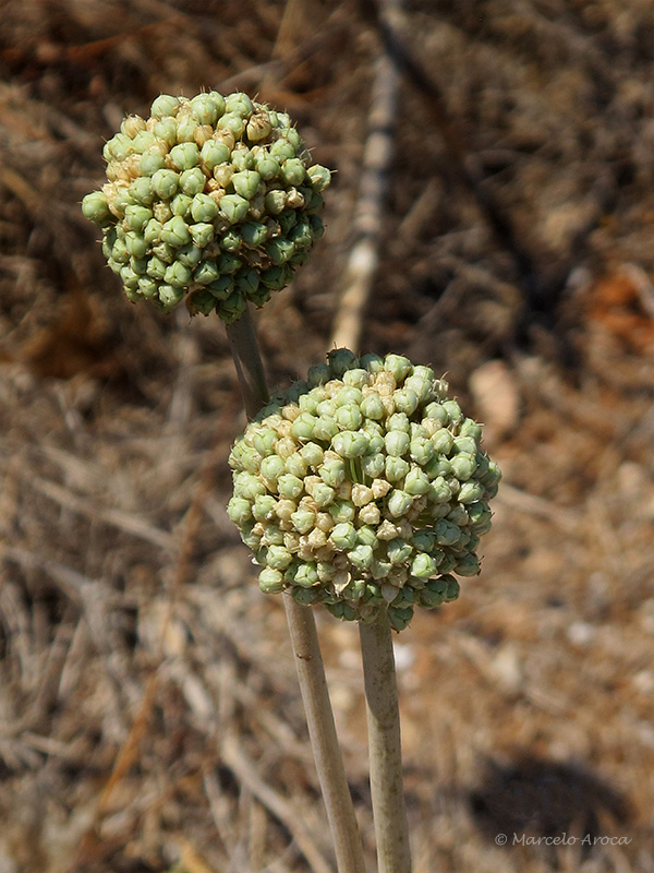 Allium ampeloprasum (Allium commutatum)