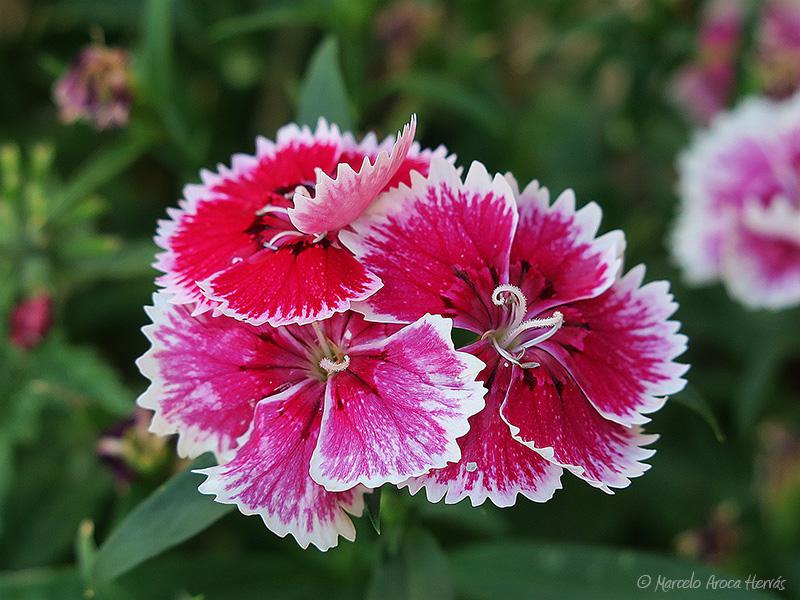 Dianthus barbatus (Clavel imperial)