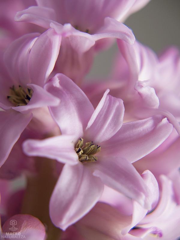 Hyacinthus (Jacinto)