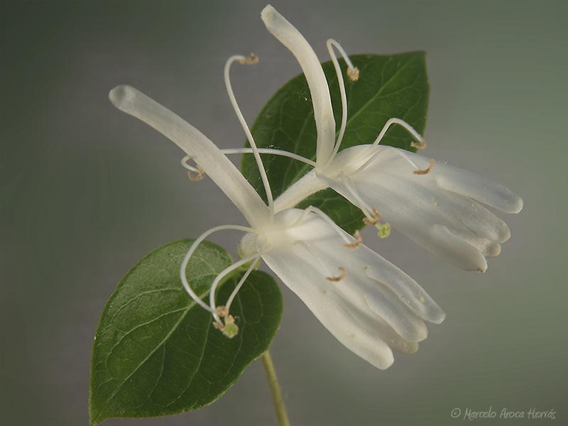 Lonicera japonica (Madreselva)