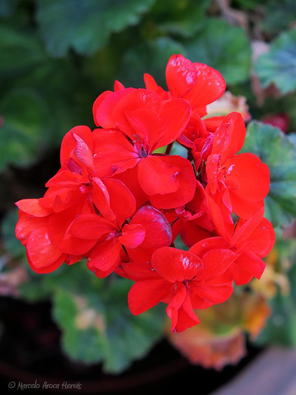 Pelargonium hortorum (Geranio)