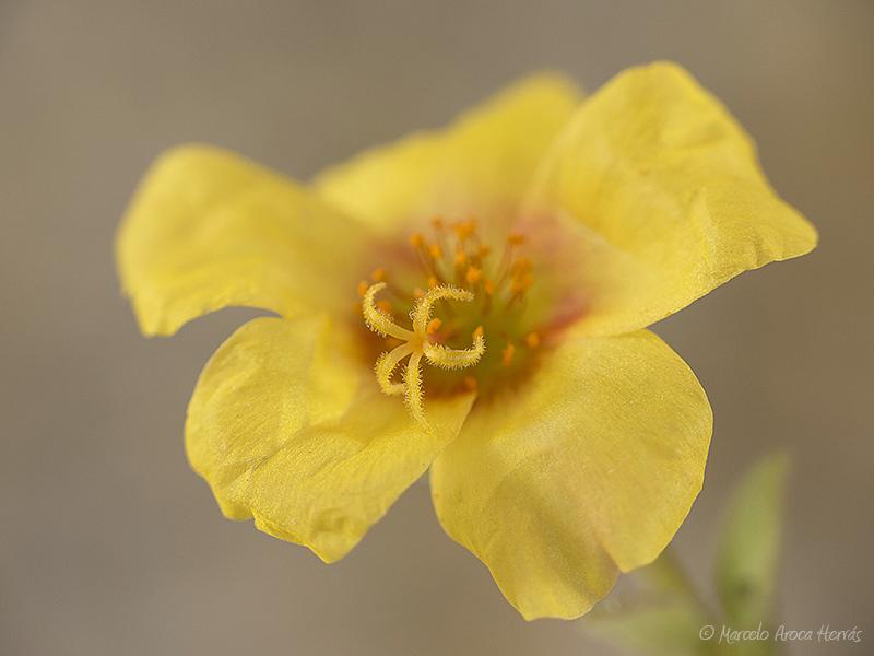 Portulaca oleracea (Verdolaga)