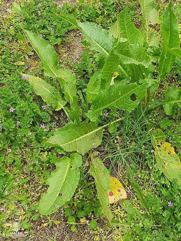 Rumex obtusifolius (Vinagrillo)