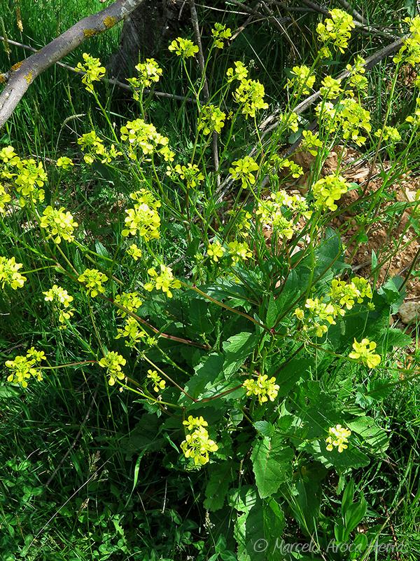 Sinapis arvensis (Collejón)