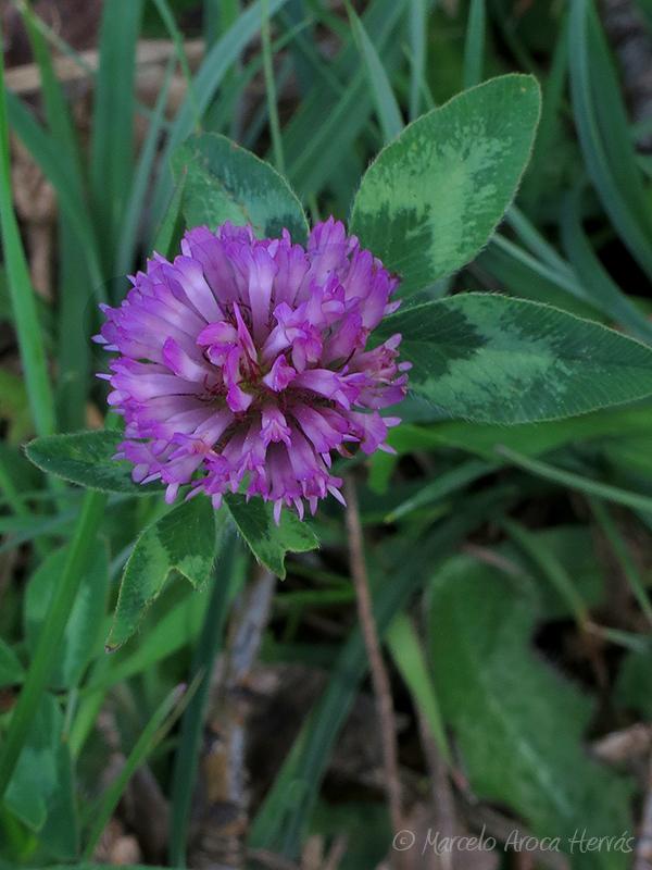 Trifolium pratense (Trébol común)