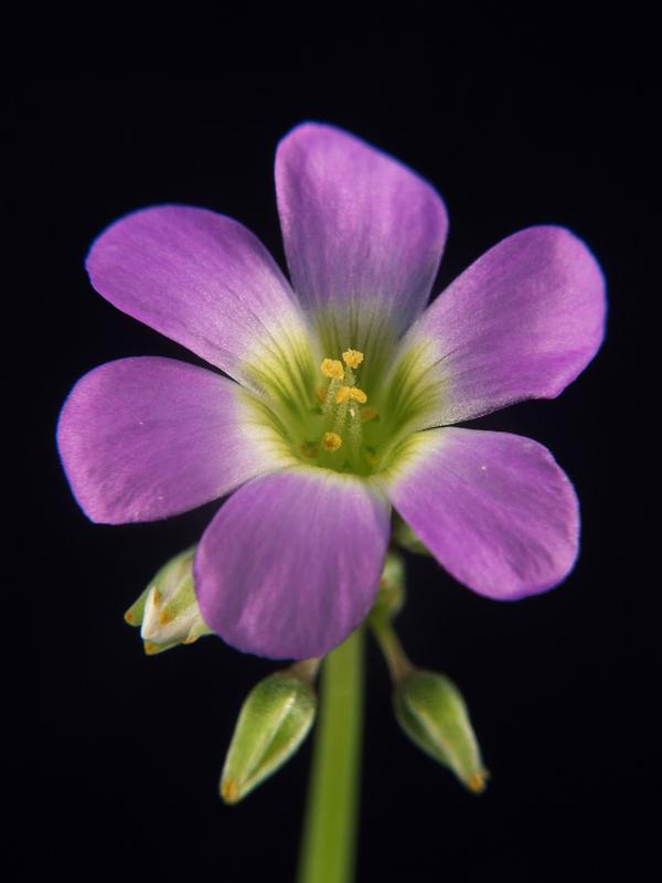 Trifolium sp. flor