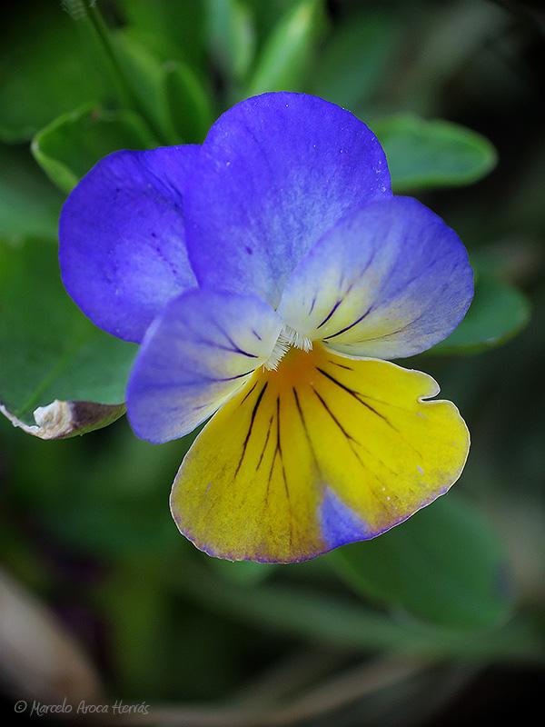 Viola tricolor (Pensamiento)