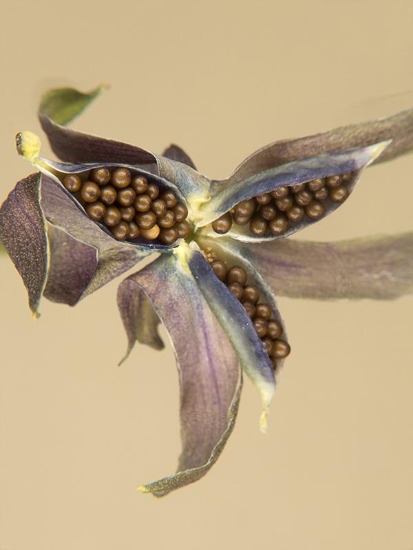 Viola x wittrockiana (Pensamiento)