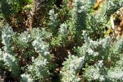 Artemisia sp.