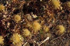 Carlina corymbosa L. subsp. hispanica (Cardo cuco)