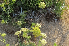 Crithmum maritimum (Hinojo marino)