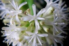 Dracaena fragrans (Palo de Agua)