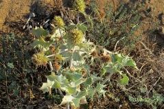 Eryngium maritimum (Cardo maritimo)