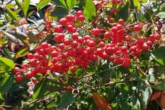 Nandina domestica fruto