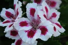 Pelargonium graveolens (Geranio de olor)