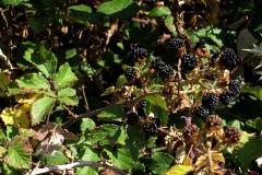 Rubus sp. (Zarzamora)