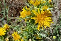 Scolymus hispanicus (Cardillo)