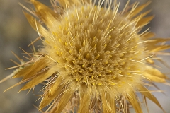 Scolymus hispanicus (Cardillo) flor