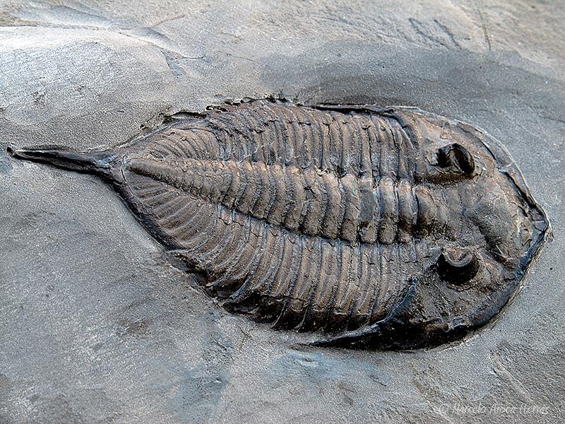 Dalmanites limulurus