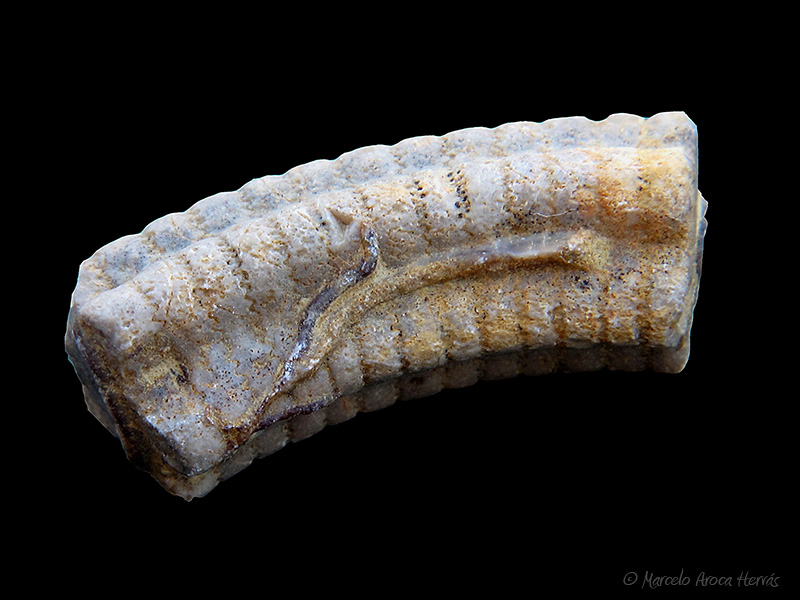 Crinoideo sp