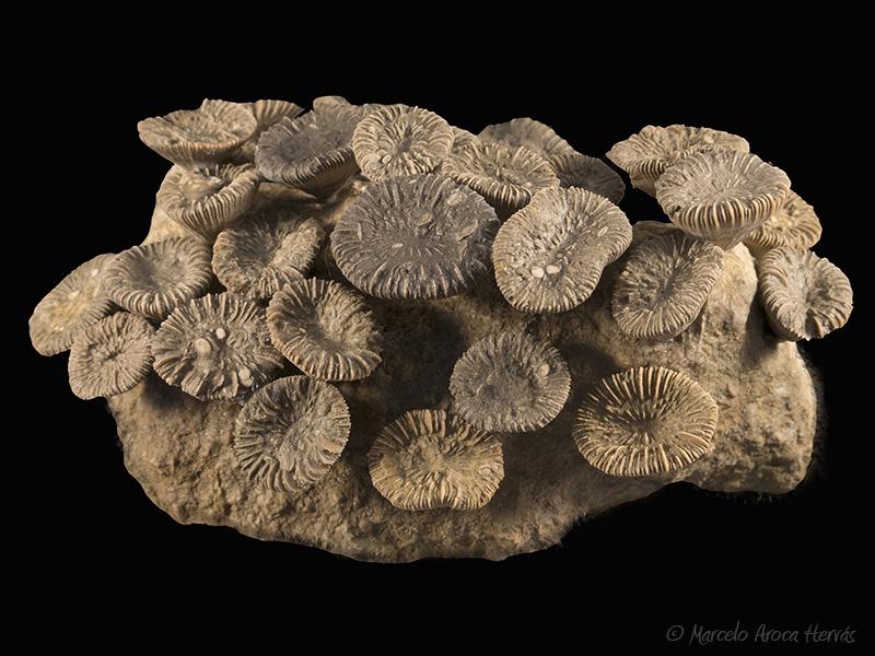 Trochocyathus sp