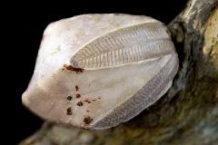 Pentremites symmetricus