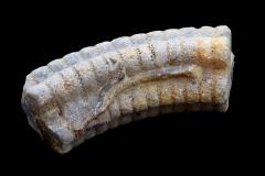 Crinoideo sp