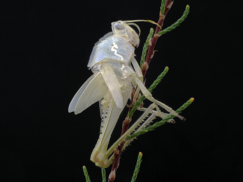 Anacridium aegyptium muda