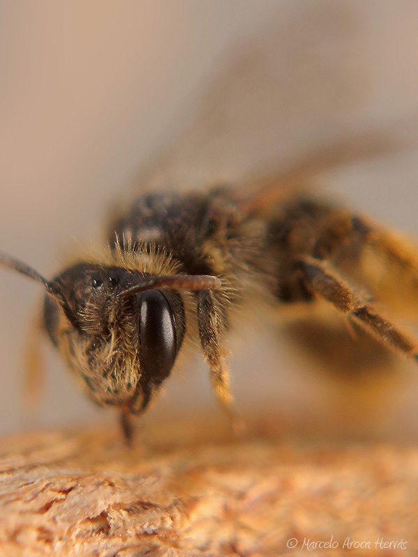 Andrena sp.