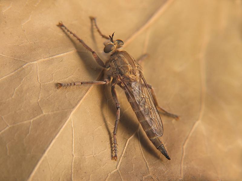 Antiphrisson trifarius hembra