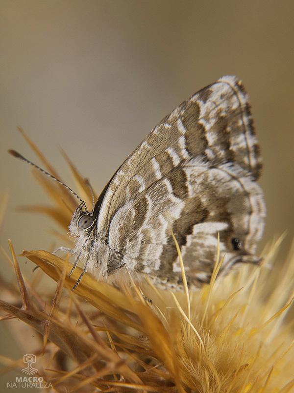 Cacyreus marshalli (mariposa del geranio)