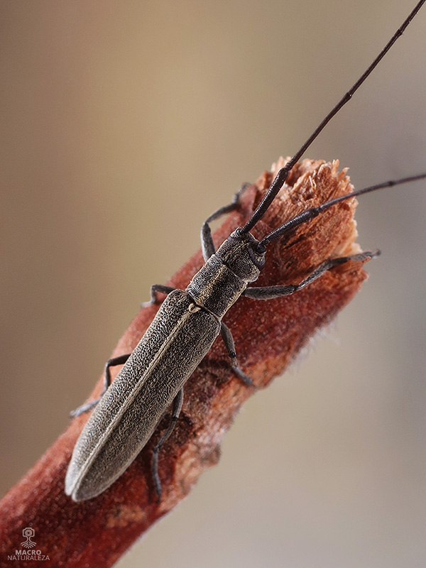 Calamobius filum