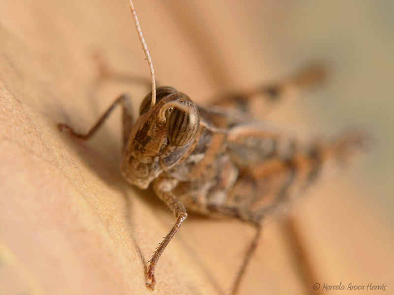 Calliptamus barbarus macho