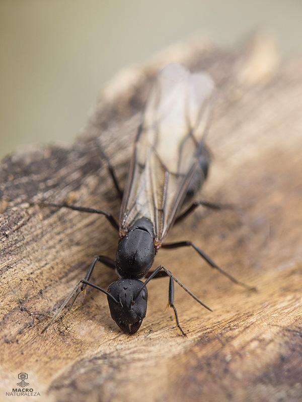 Camponotus cruentatus