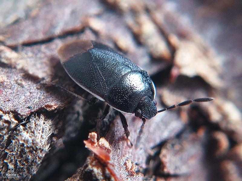 Canthophorus cf. maculipes