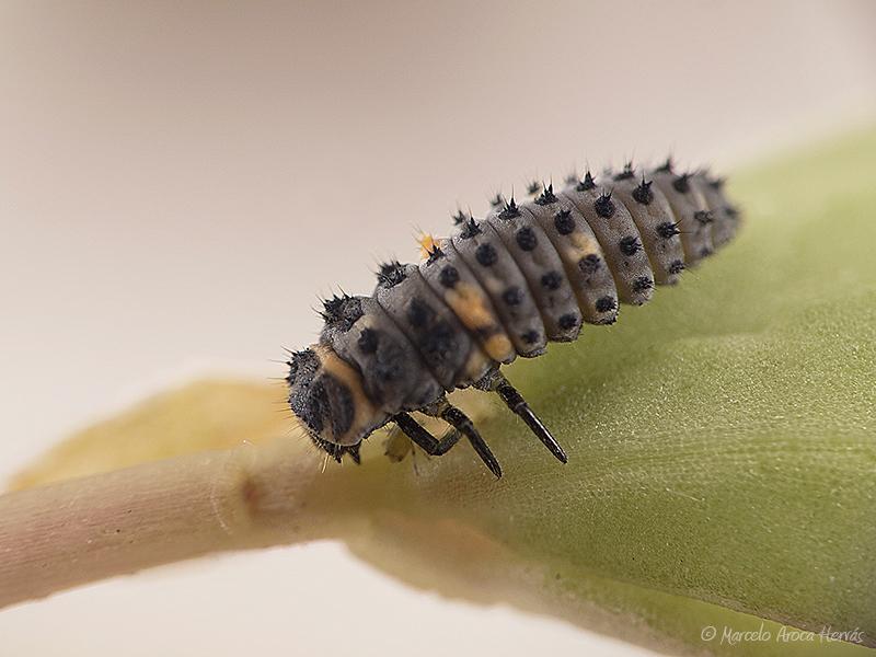 Coccinella septempunctata larva