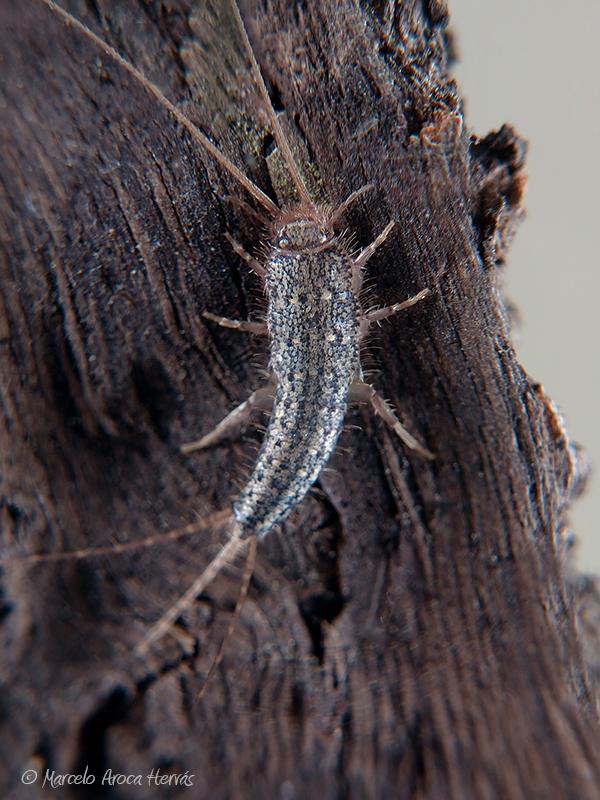 Ctenolepisma sp. (Pececillo de plata)